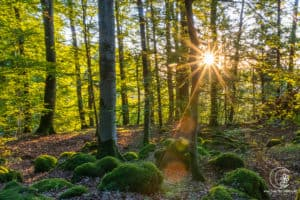 Frühmorgens im Wald der Eifel